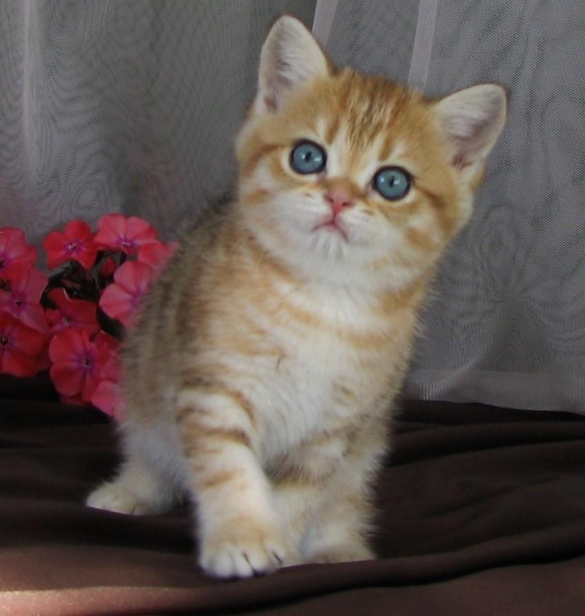 окрас редкие для британских котят фото