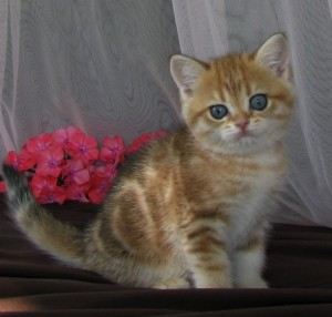 ARISHA - британская кошечка золотая мраморная (BRI ny22)