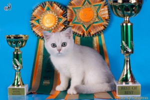 "Bеаtriche   Vеlvet Joy of Mormot  (BEST KITTEN).  ""ВЫСШАЯ ПРОБА""  2009 г."