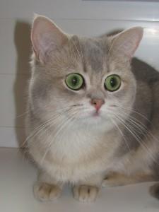 СH. FRANKIE EVELIN STAR OF VELVET JOY  (BRI ay25 - британский котик голубой золотой тикированный)