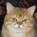 ICH.  VELVET JOY DORIAN  (BRI ny25 - британский котик золотой тикированный)