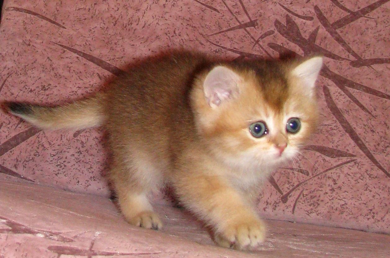 золотые британские котята шиншиллы фото
