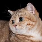 CH.  RELAX DE MONTE-CRISTO OF VELVET JOY (BRI ny22 – котик золотой мраморный)