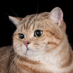 CH.  RELAX DE MONTE-CRISTO OF VELVET JOY (BRI ny22  – британский котик золотой мраморный)