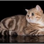 CH.  RELAX DE MONTE-CRISTO OF VELVET JOY (BRI ny22 – британский котик золотой мраморный))