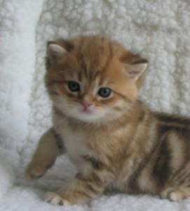 RICHARD - британский котик золотой мраморный (ny22) - ПРОДАН