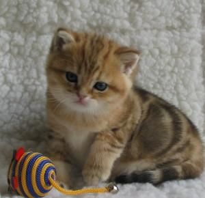 RODRIGO - британский котик золотой мраморный (ny22) - ПРОДАН
