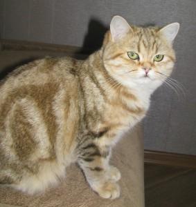 WENDY - кошечка золотая мраморная (ny22)