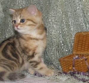 Wendy - кошечка золотая мраморная (ny22) - СВОБОДНА