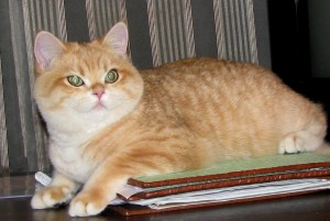 VELVET JOY'S GOLDEN NOSTALGIE  - кошечка британская золотая пятнистая (ny24)