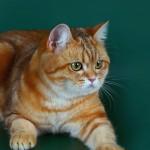 RUSSO ODRY - кошечка золотая мраморная (ny22) (2)
