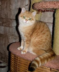 VELVET JOY'S GOLDEN NOSTALGIE - британская кошечка золотая пятнистая (BRI ny24)