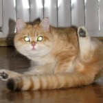 VELVET JOY'S GOLDEN NOSTALGIE - британская кошечка золотая пятнистая (ny24)