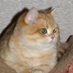 VELVET JOY'S GOLDEN NOSTALGIE  - кошечка золотая пятнистая (BRI ny24)