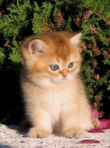 NEO - британский котик золотой тикированный (ny25) - ПРОДАН