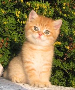 NORMAN - британский котик золотой затушеванный (ny11) - ПРОДАН